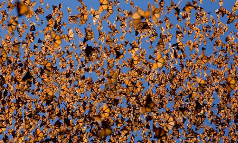 15 Breathtaking Photos Of The Yearly 3,000 Mile Monarch Butterfly Migration
