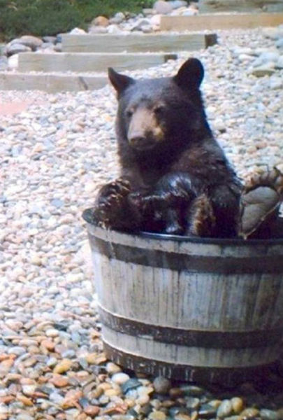 Family Records A Huge Bear Bathing In Their Water Barrel