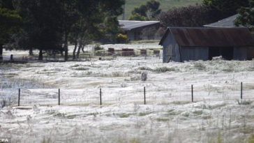 Plague Of Spiders Completely Covers An Australian Town In Webs
