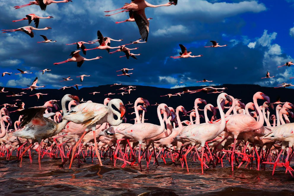 Millions Of Pink Flamingos Flock To This Kenya Lake To Eat Algae