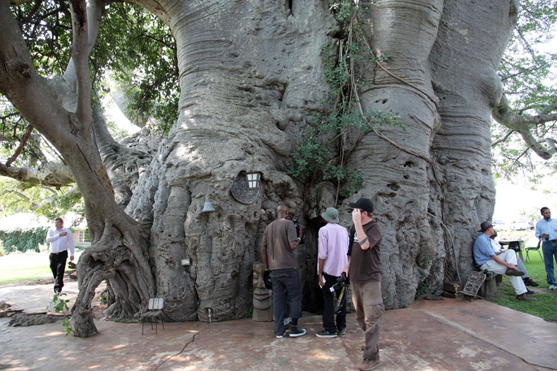 There's Actually A Bar Carved Out Inside This 6000-Year-Old Tree