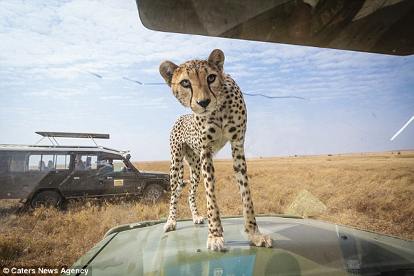 Young Wild Cheetah Gives Photographer On Safari The Heart-Stopping Photo Op Of A Lifetime