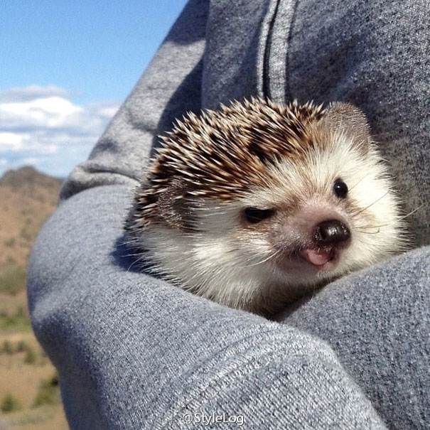 Tiny Hedgehog Loves Traveling, And His Pics Are The Best Thing You'll See Today