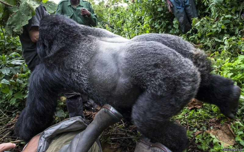 Photographer Gets Punched By Gorilla After He Refused To Stop Taking Pictures