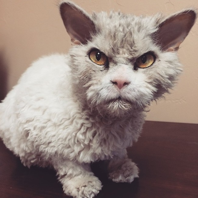 Meet Albert, The Office Cat That Always Looks Pissed Off