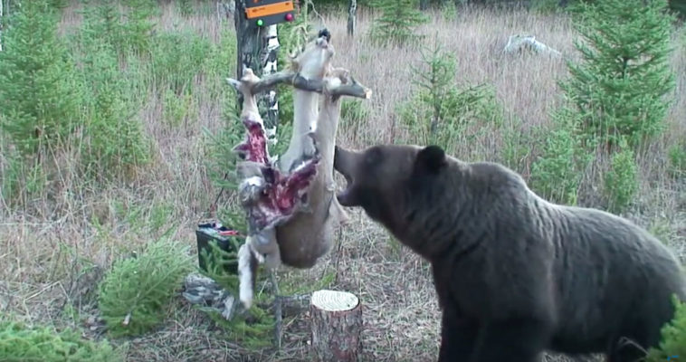 Bear Outsmarts Electric Fence To Get Deer Carcass