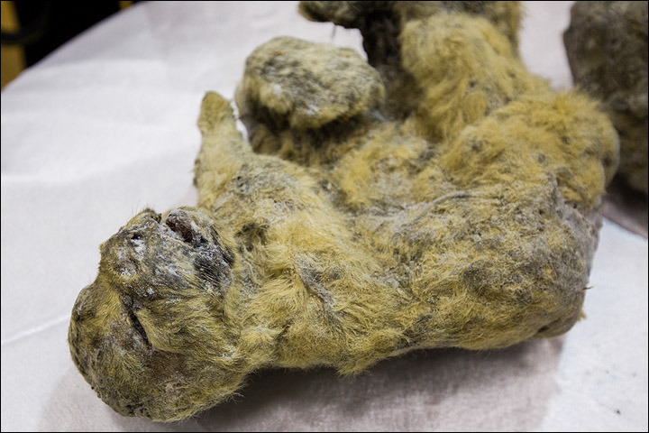 Two Frozen Lion Cubs That Went Extinct 12,000 Years Ago Found Perfectly Preserved In Ice