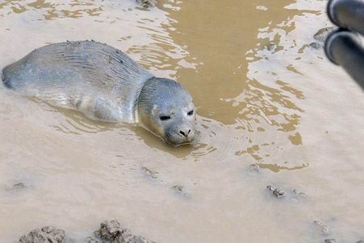 Cows Find A Baby Seal Alive In A Pasture Over 3 Miles Away From The Ocean