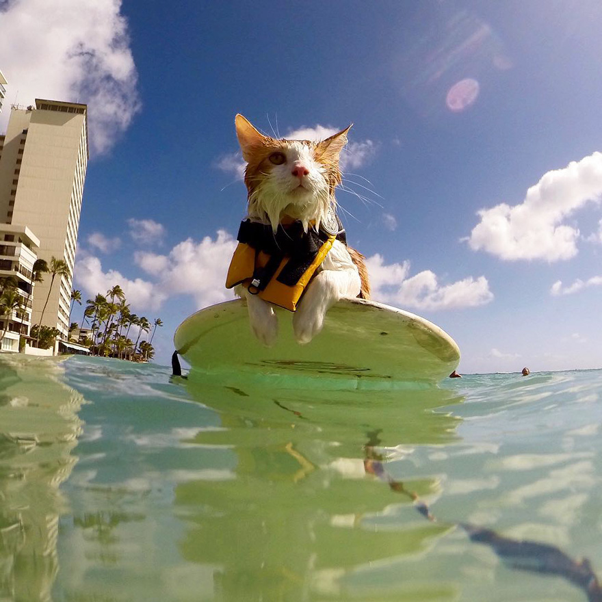Rescued Cat Went From Homeless And Half Dead To Surfing Waves In Less Than A Year