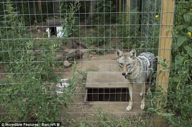 Rescued Coyote Becomes Lifelong Friend With The Family That Saved His Life
