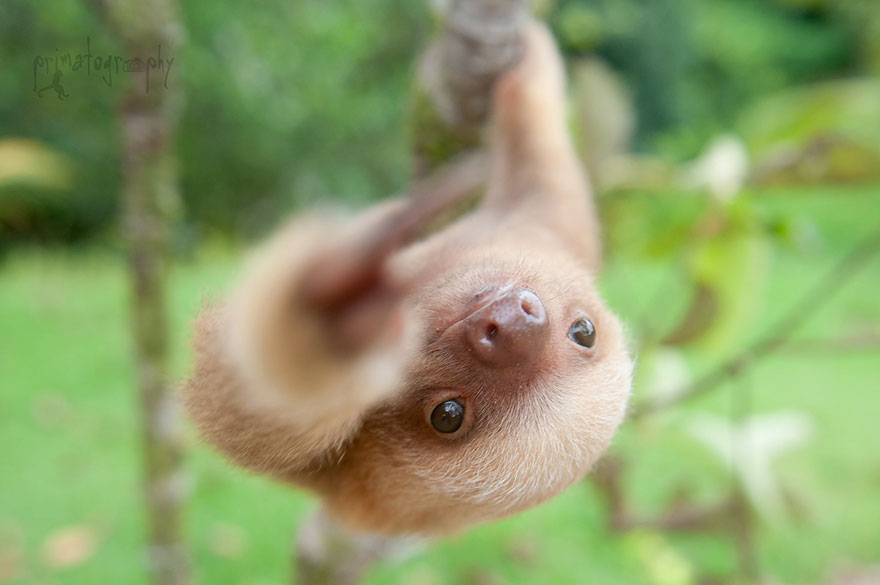 There Is A Sloth Institute Which Looks After Baby Sloths That Lost Their Moms