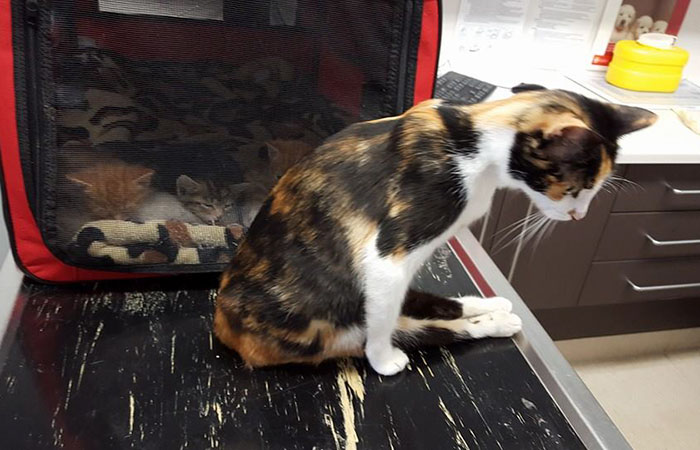 Someone Paralyzed This Cat On Purpose, But She Survived Just To Save Her Kittens