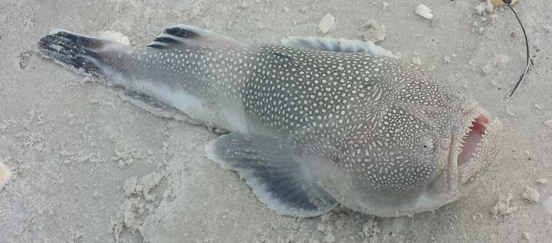 This Stargazer Fish Buries Its Body And Leaps To Attack Anything That Passes By And It's Terrifying