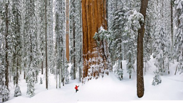 This 3,200-Year-Old Tree Is So Huge That It's Never Fit Into A Single Photo Until Now