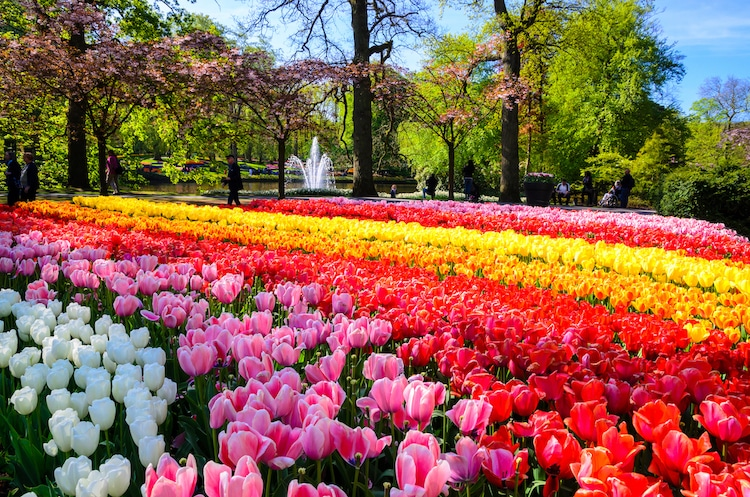 7 Million Colorful Flowers Burst With Blooms In Holland's Largest 'Flower Stream' Garden
