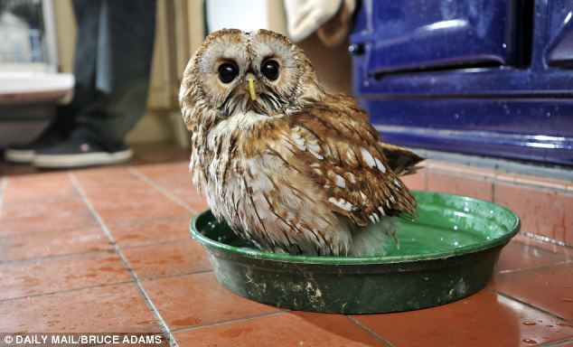 Rescued Owl Refuses To Go Outside, Becomes Lifelong Indoor Friend With The Man That Saved His Life
