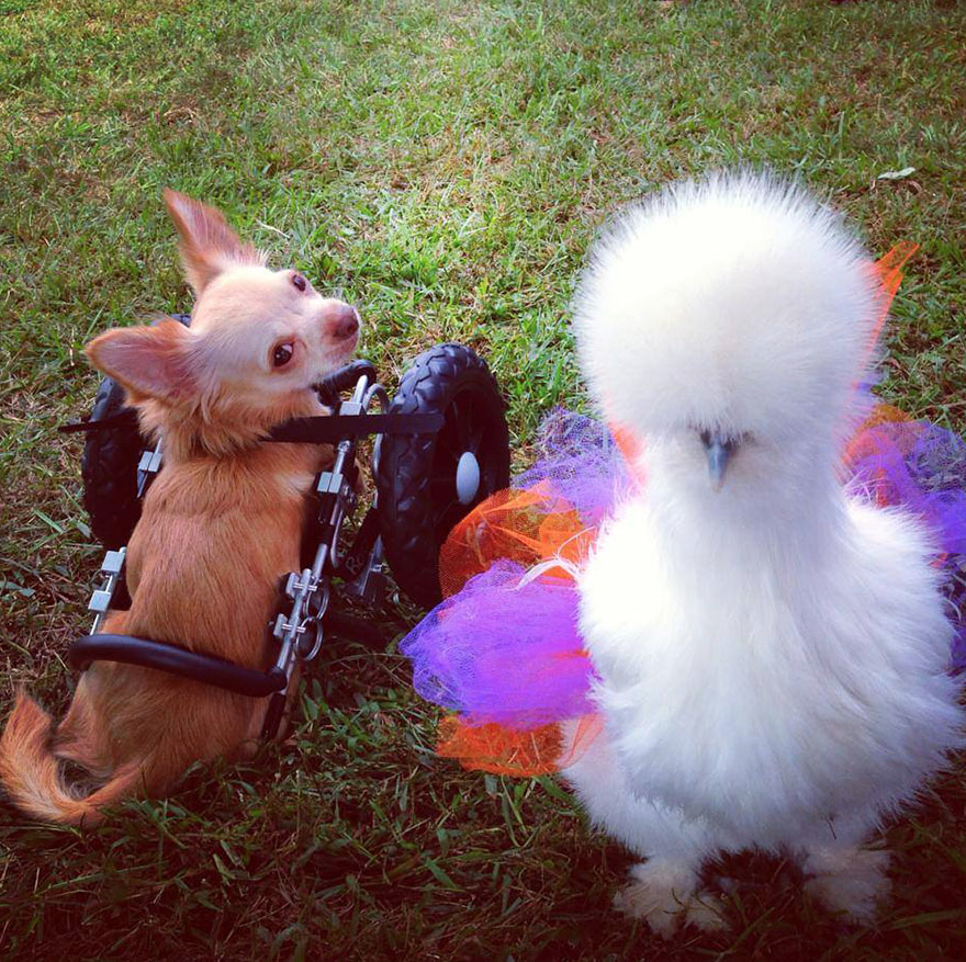 Abandoned Two-Legged Chihuahua Becomes Best Friends With Chicken Rescued From Laboratory