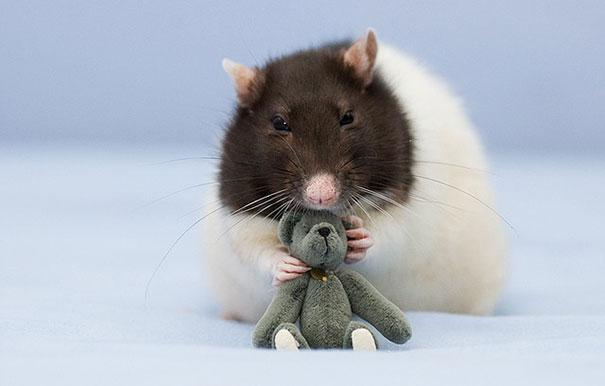 Photographer Captures Adorable Images Of Rats with Teddy Bears