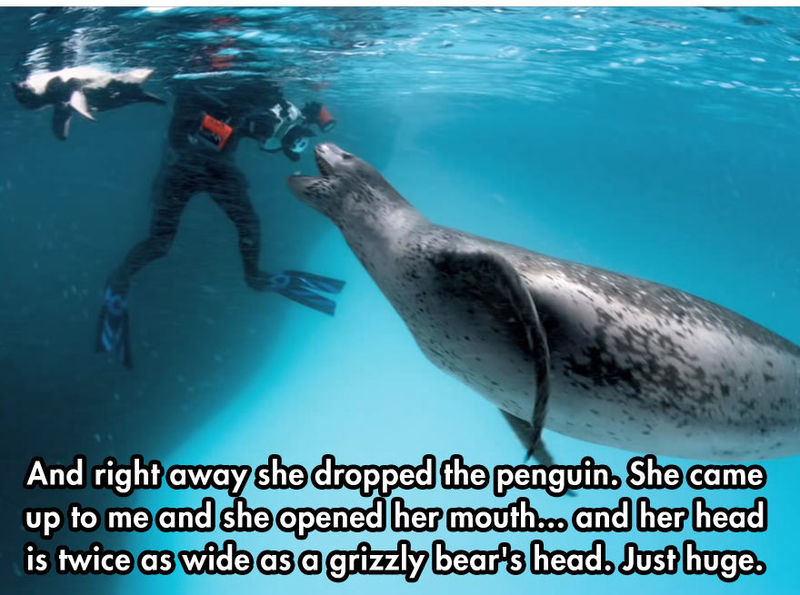 Leopard Seal Feeds Penguins To Diver Who Began Photographing Him