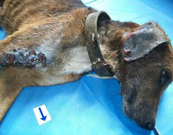 This Dog Was Literally Being Eaten Alive When He Was Rescued