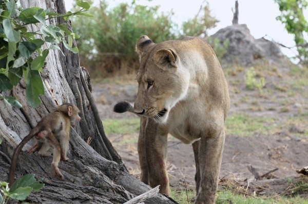 Lion Kills Mom Baboon, But Then Protects Baby Until It Was Safe To Escape