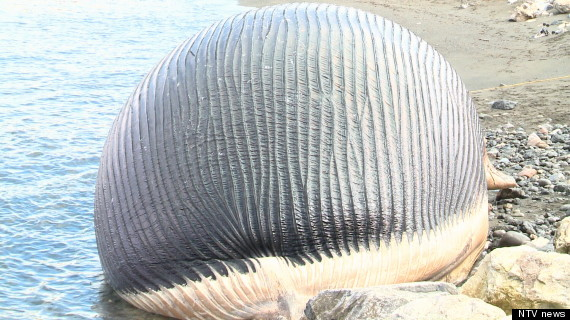 A Beached Whale Is On The Verge Of Exploding Causing Concern For The Nearby Town