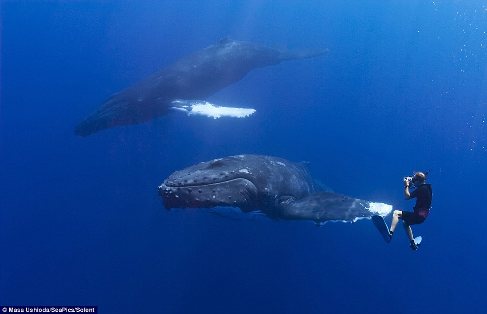 Humpback Whale High Fives Diver As They Swim Together