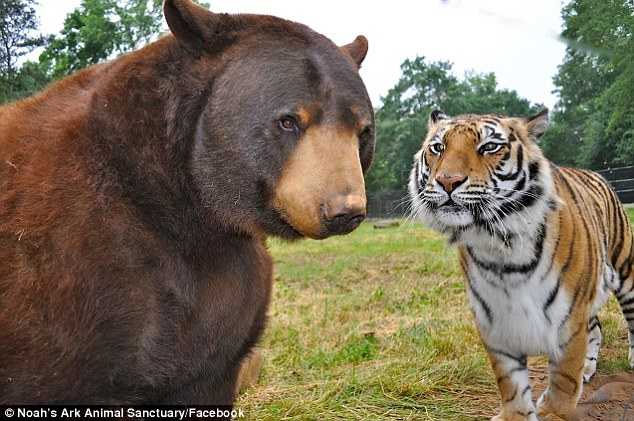 Lion, Tiger And A Bear Haven't Left Each Other's Side For 15 Years