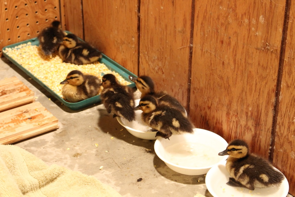 Man Rescues Ducklings Moments After Their Mother Is Killed By A Car