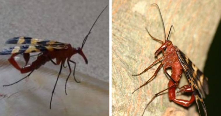 The Scorpionfly Exists, And They're Just As Creepy As You'd Imagine