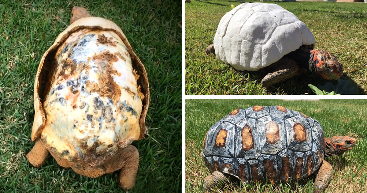 Injured Tortoise Who Lost Shell In Fire Receives World's First 3D Printed Shell