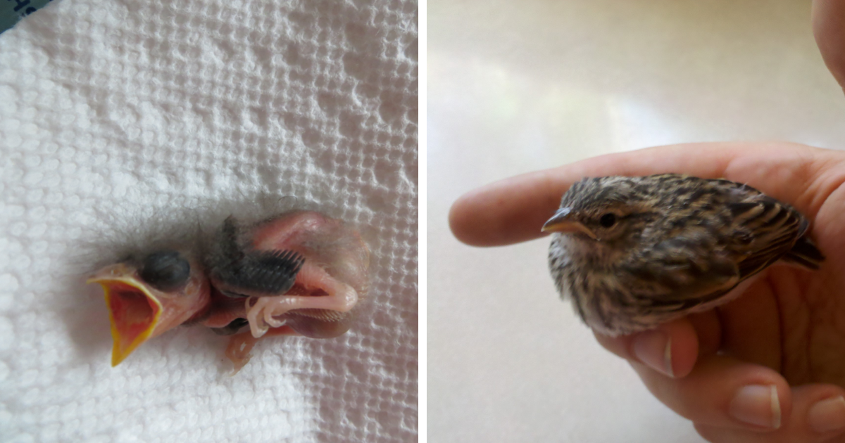 Veterinarian Documents Baby Bird Rescue And Recovery In 23 Photos