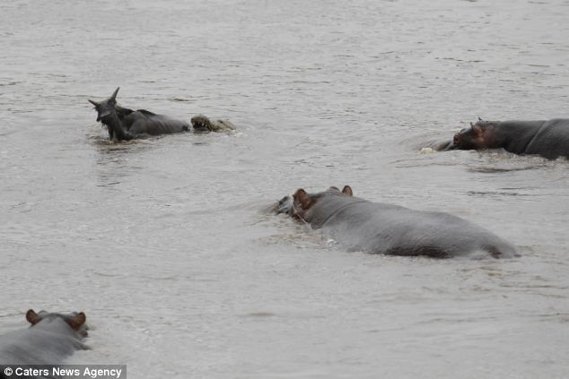 Daring Hippos Fight Off a Crocodile To Save A Gnu And Then Escort Him to Safety
