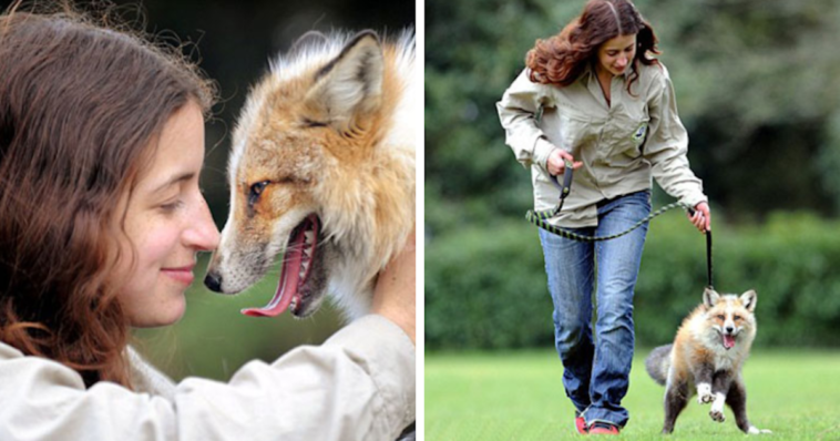 Rescued Fox That Was Raised By Humans Now Thinks He's A Regular Dog