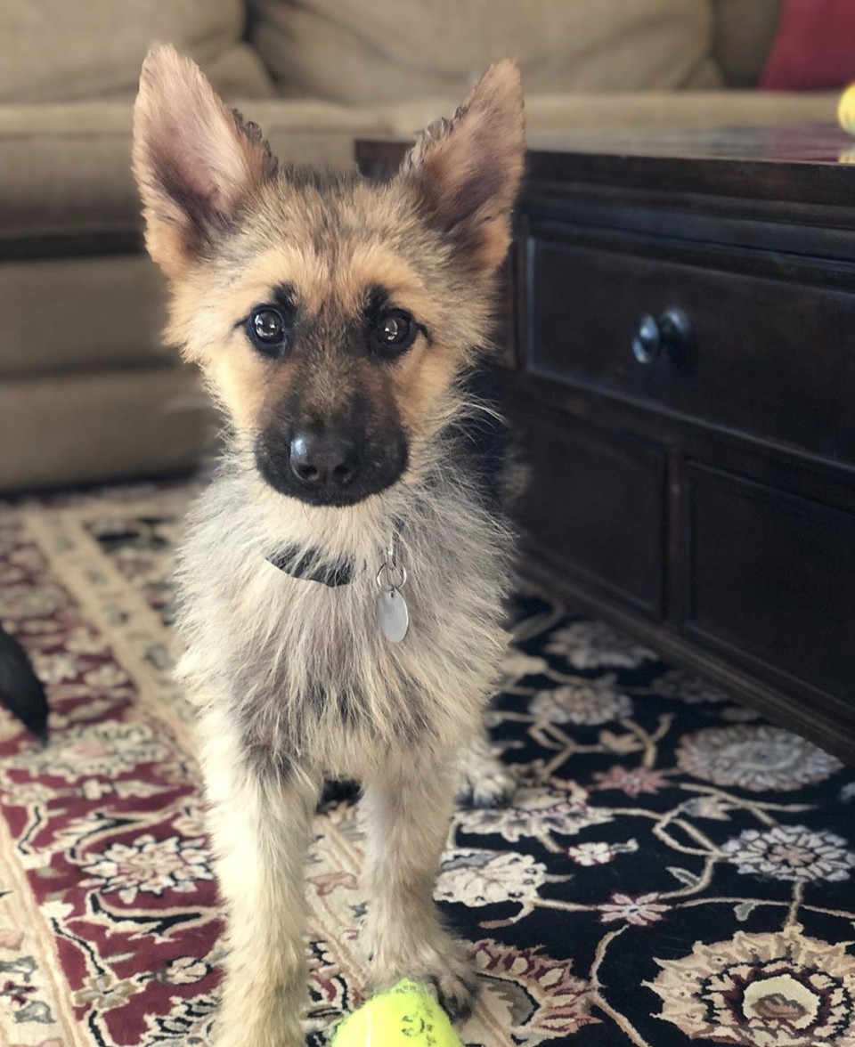 This 2-Year-Old German Shepherd With Dwarfism Will Always Look Like A Tiny Cute Puppy