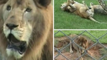 Rescued Circus Lion From Locked Cage Touches Grass For The First Time In 13 Years