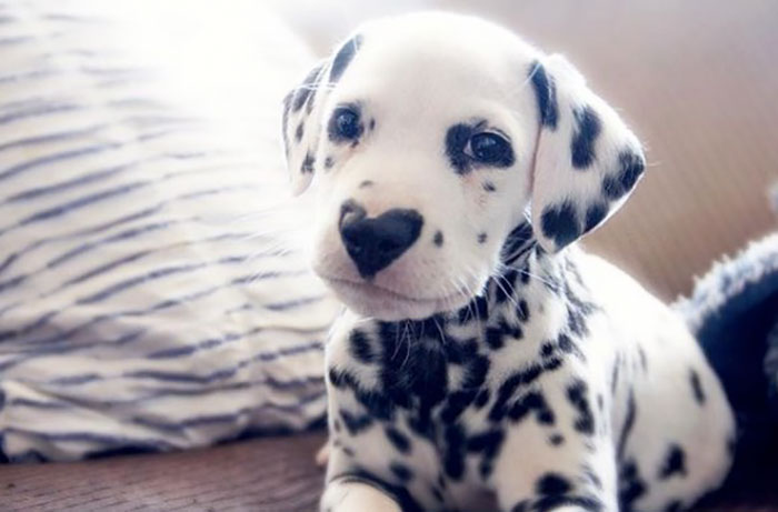 People Are In Love With This Dalmatian That Has A Heart On His Nose