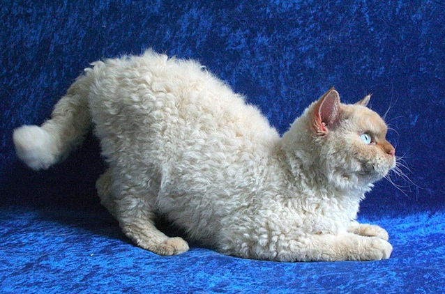 Apparently, 'Poodle Cats' Are A Thing And They Are Adorable