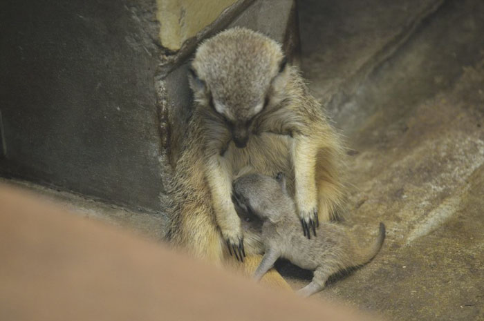 Photographer Captures Shy Meerkat Family And It's Adorable (23 Pics)