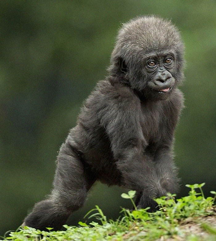 This Gorilla Born With A Lack Of Pigmentation On Her Fingers Looks Human-Like