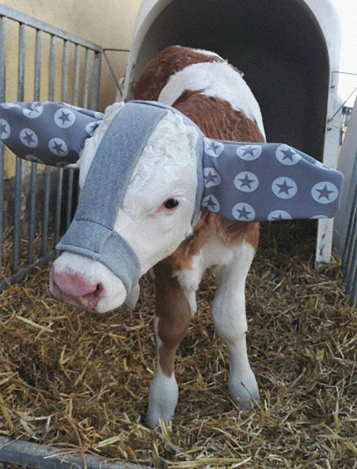 Apparently, Farmers Are Protecting Their Calves From Frostbite With Earmuffs And It's Adorable