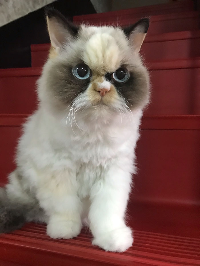 There Is A New Grumpy Cat And She Looks Even Grumpier Than Her Predecessor