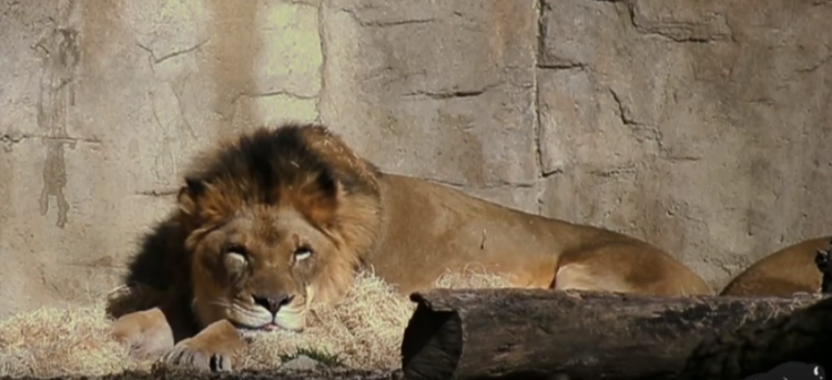 Lion Couple Who Were Inseparable Dies Just Days Apart At Chicago Zoo