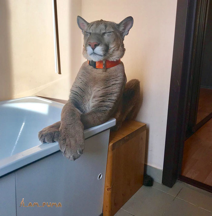 Rescued Puma Can't Be Released Into The Wild, Lives As A Spoiled House Cat Instead