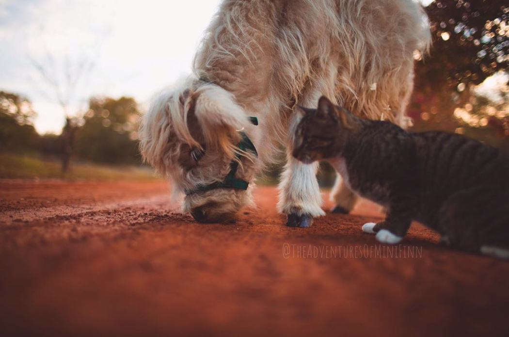 You Can Now Own A Mini Fluffy Cow And They're Adorable
