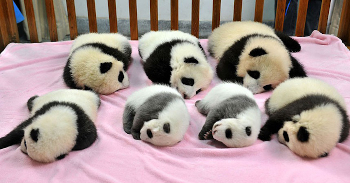 Apparently, A Panda Daycare Exists And It's Adorable