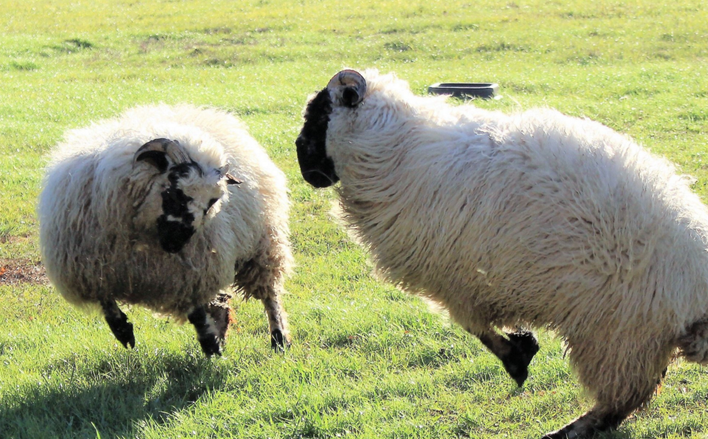 You Can Now Own A Blacknose Sheep That Looks Just Like A Stuffed Animal