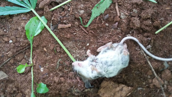 Man Places Mouse In 'Rehab' After Finding Him Passed Out After Chewing A Cannabis Plant
