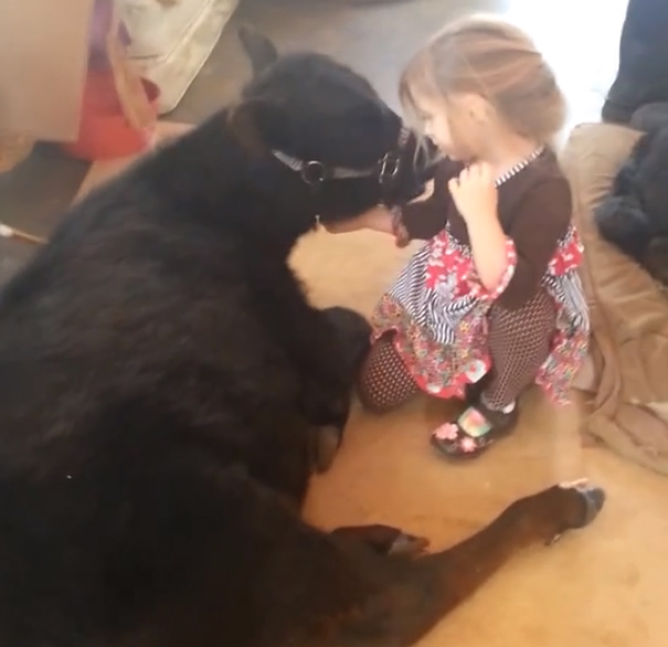 5-Year-Old Girl Sneaks Her Sleepy Cow Friend Into The House For A Nap
